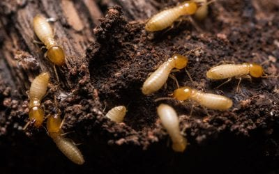 5 Ways to Prevent Termites in the Home